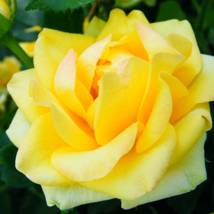 4216969_Rose (700x700, 269Kb)