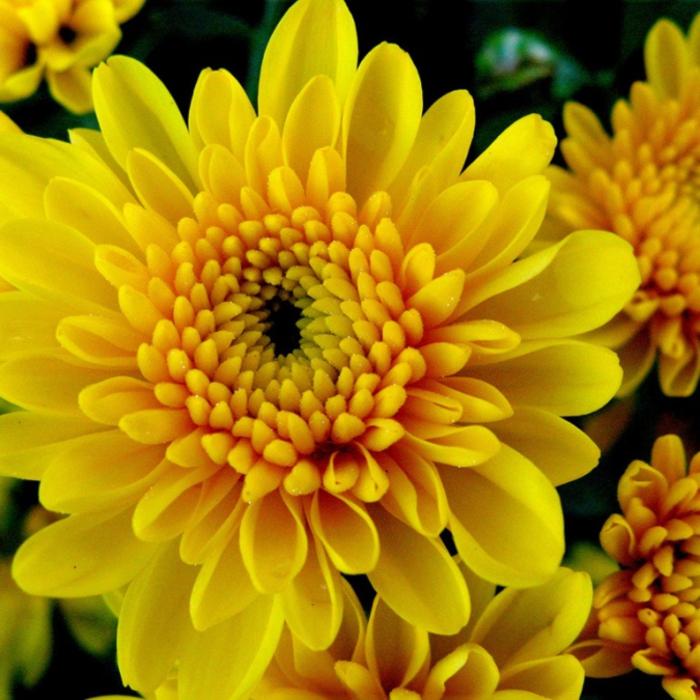 4216969_Chrysanthemum (700x700, 347Kb)