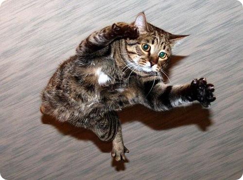 Феномен ''падающей кошки''. Почему кошки приземляются только на лапы?