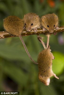 mouse_9 (270x403, 18Kb)