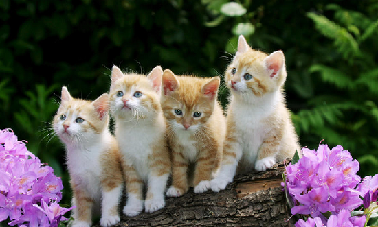 Proshots - Curious Kittens - Professional Photos (550x331, 442Kb)