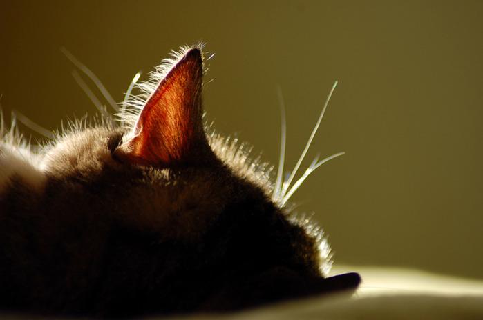 Ушки на макушке ...У кошек великолепный слух!