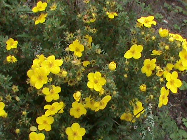 Многолетние цветущие кустарники для