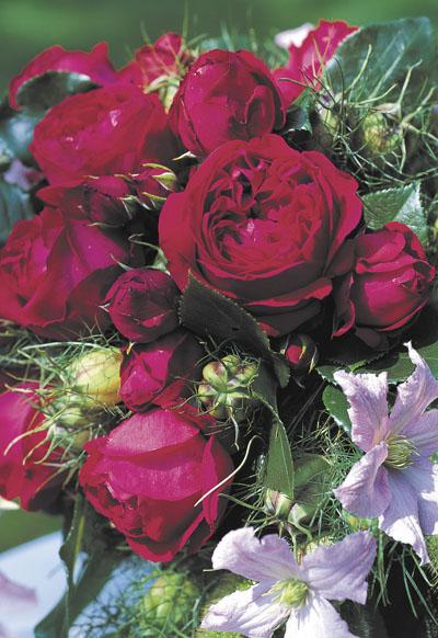 Роза плетистая эден роуз 4