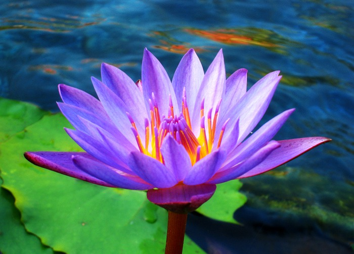 Lotus_Flower_by_Starfire_013 (700x503, 85Kb)