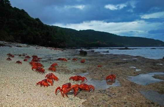 christmas_island_crab_migration_1 (560x368, 23Kb)