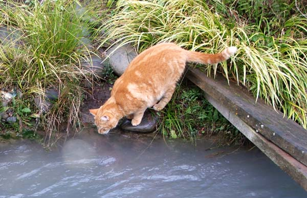 cat-drinking-water (600x387, 83Kb)