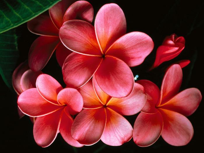 1217098862_pink-plumerias (700x525, 119Kb)