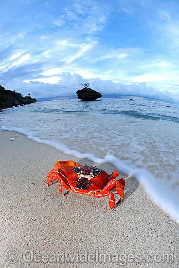 60M0444-06D-christmas-island-red-crab (368x550, 88Kb)