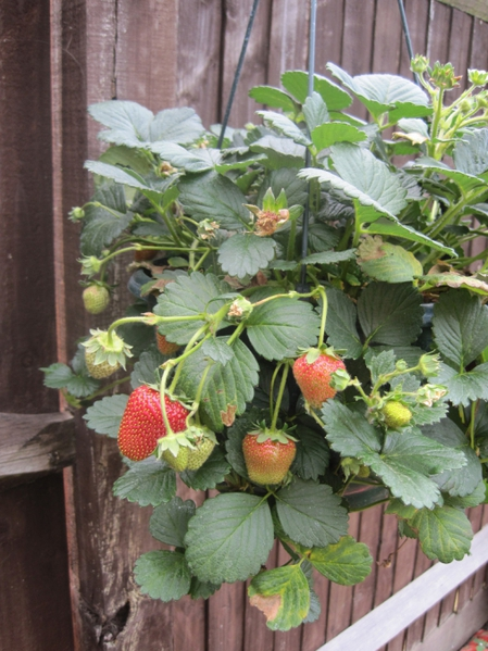 4278666_4749052468_50e2ef8458_Garden_-_Strawberry_Hanging_Basket_L (449x600, 232Kb)