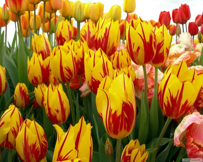 40584469_tulipan086 (700x560, 98Kb)