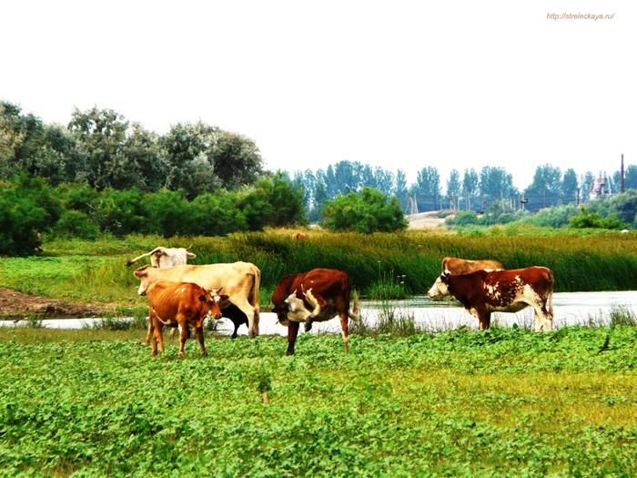 картинки корова на лугу для детей