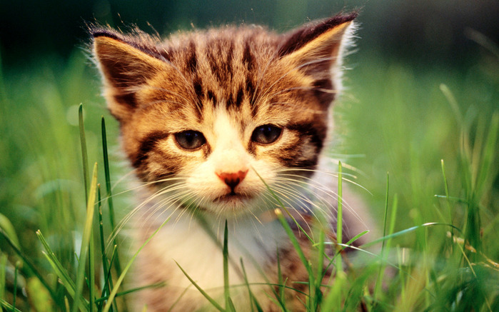 1219132732_1280x768_lovely-little-cat (700x437, 121Kb)
