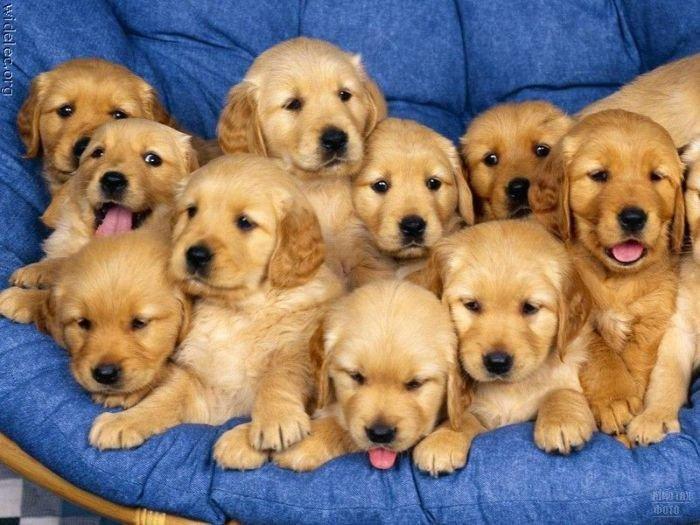 Покупка щенков через интернет.