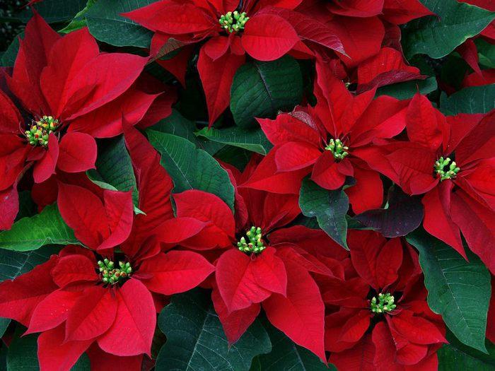 Загрузка картинки: цветы, рождественская звезда, пуансетия, красные, листья / 346563 - bestforce.ru