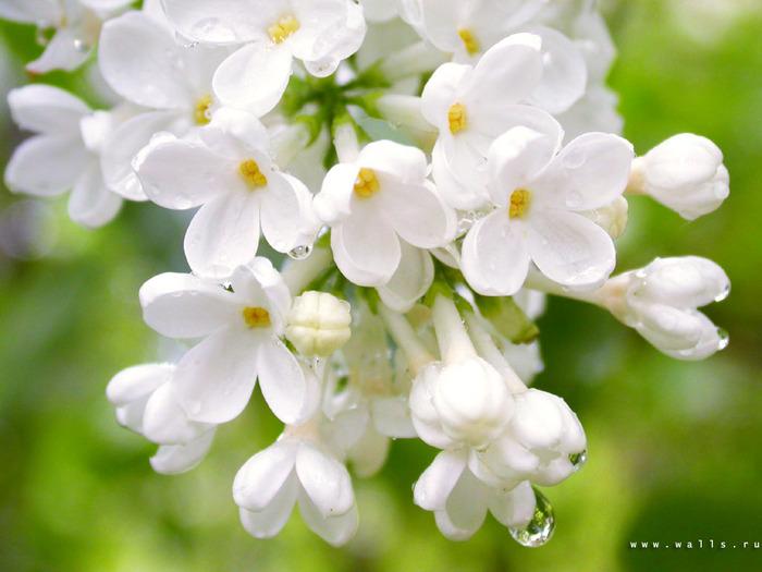 flower_0329 (700x525, 107Kb)