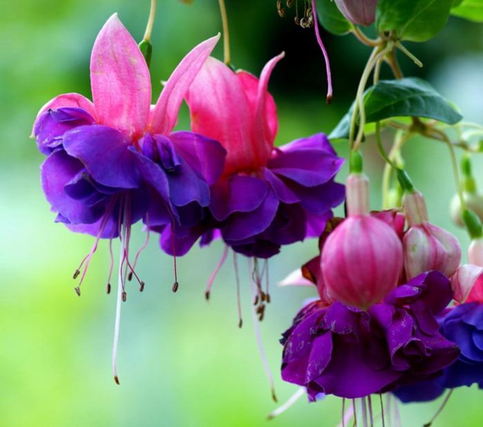 Цветки фуксии бывают простые и махровые, а у махровых форм еще и разноцветные - юбочки одной окраски...