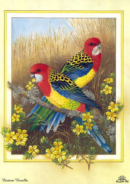 1229798478_p-australian_birds_cal2003_02 (425x600, 61Kb)
