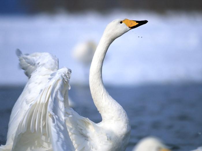 птицы плавающие с названием фото.