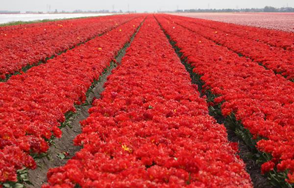 тюльпаны (600x384, 122Kb)