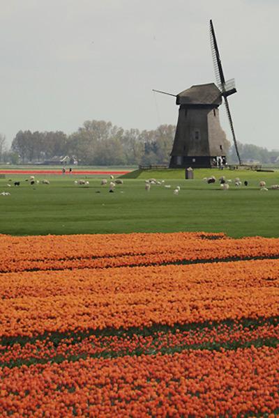 тюльпаны2 (400x600, 95Kb)