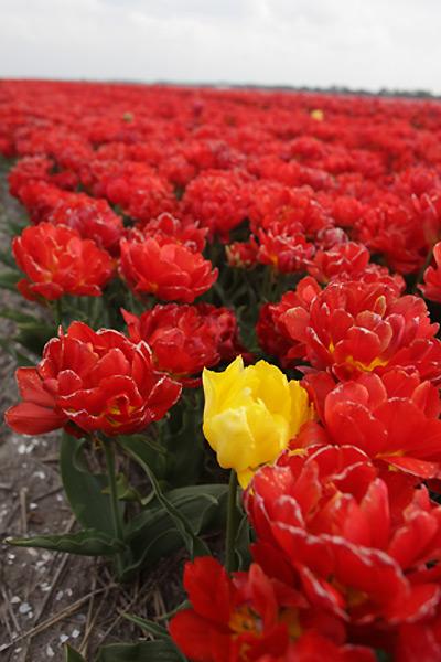 тюльпаны4 (400x600, 80Kb)