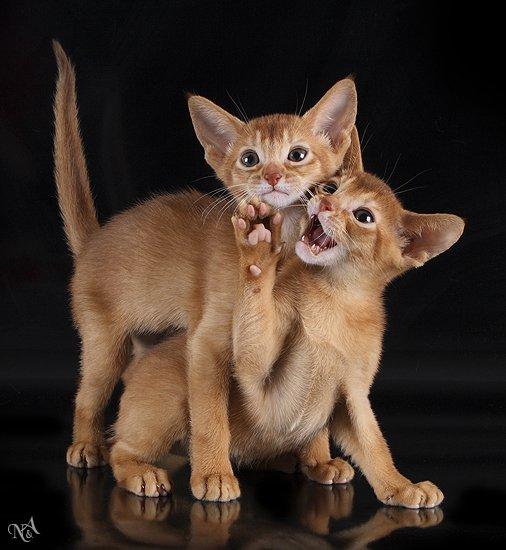 Абиссинская кошка крайне умна и сообразительна.  Ее достаточно легко обучить.  Она очень активна...
