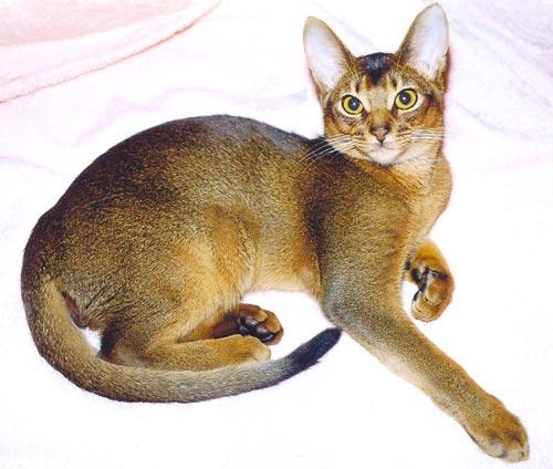 Images for абиссинская кошка фото кошки