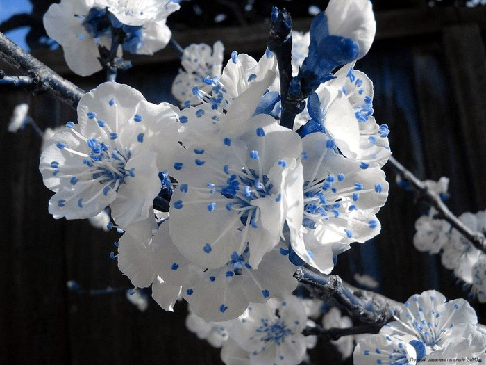 1223735788_bluewhite-flowers-1024 (700x525, 97Kb)