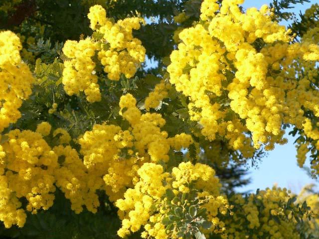 mimoza (640x480, 105Kb)