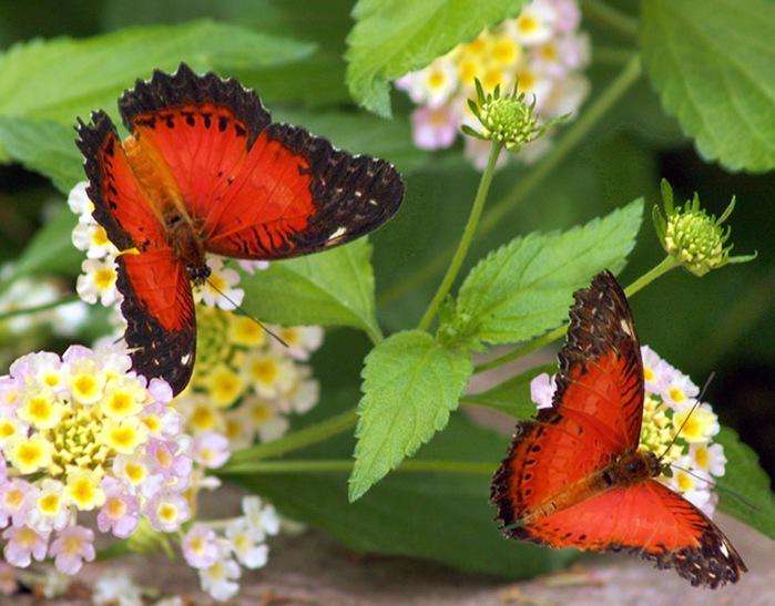twobutterflies11 (700x547, 112Kb)