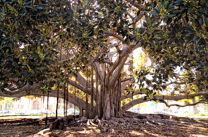 Balboa Park Fig Tree  Flickr - Photo Sharing! (700x464, 833Kb)