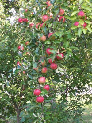 яблоня (300x400, 41Kb)