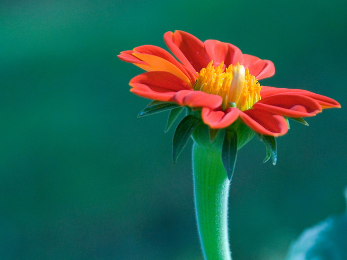 01308_redgerbera_1600x1200 (700x525, 88Kb)