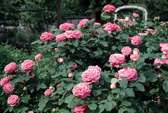 roses13 (536x360, 83Kb)