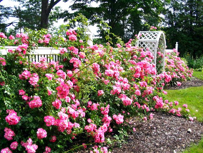 Rose-garden.jpg (изображение «JPEG», 2048x1536 пикселов) - Масштабированное (36%) (700x529, 975Kb)