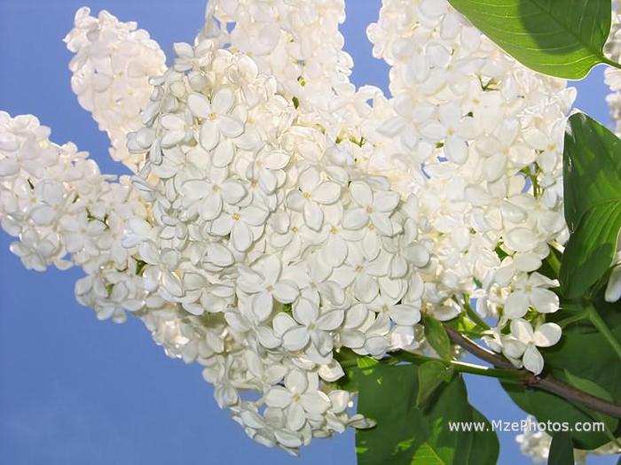 lilac-white-800x600 (700x525, 55Kb)