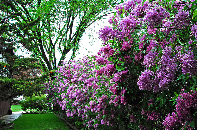 Into the Lilac forest!  Flickr - Photo Sharing! (630x416, 687Kb)