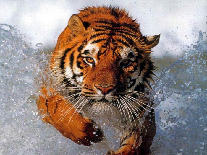 Bathing_tiger (700x525, 125Kb)