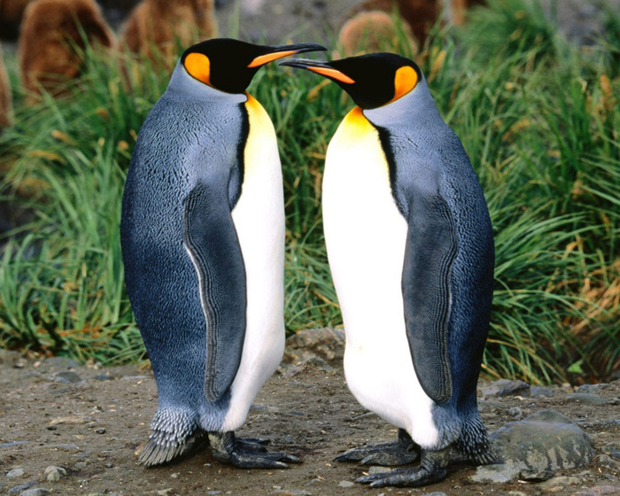 King_penguin (700x560, 166Kb)