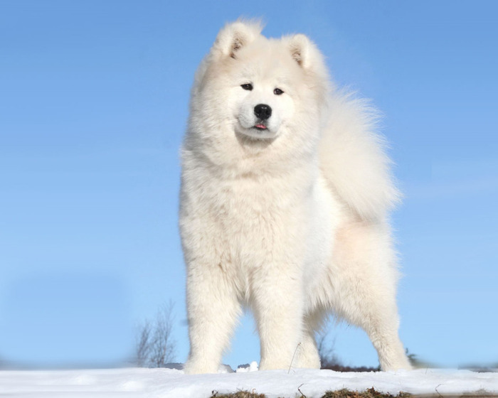 North_Greenland_Dog (700x560, 60Kb)