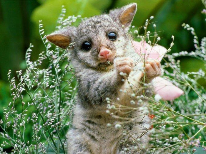 Wombat_Baby (700x525, 94Kb)