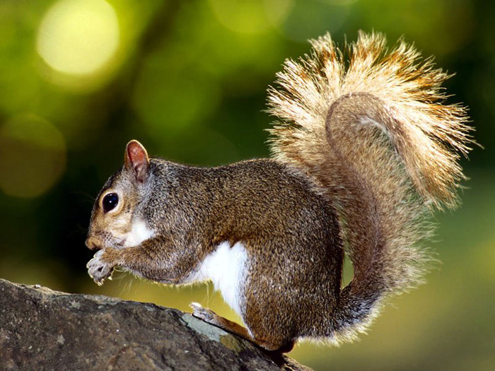 Brown_Squirrel (700x525, 139Kb)