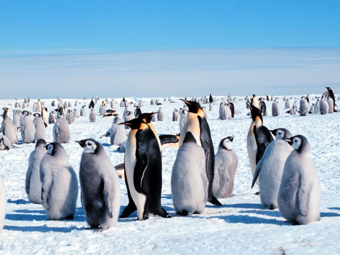 Emperor_Penguins (700x525, 92Kb)