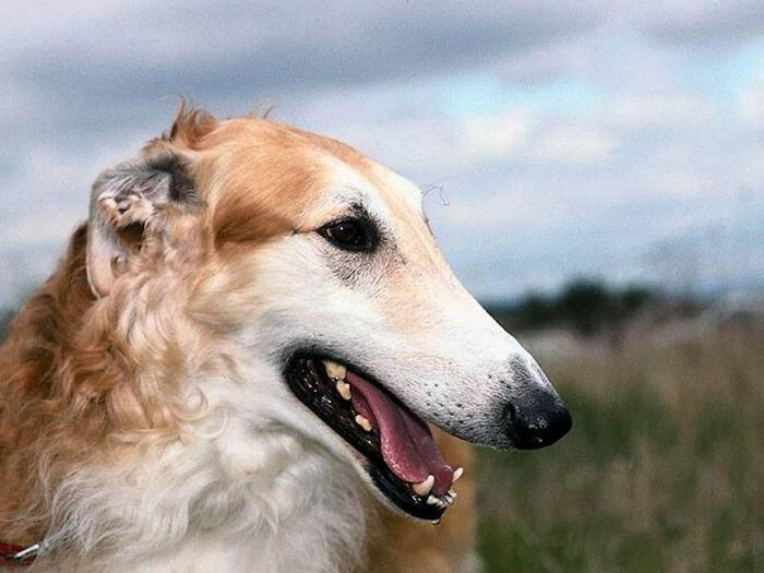 Male_Borzoi (700x525, 47Kb)