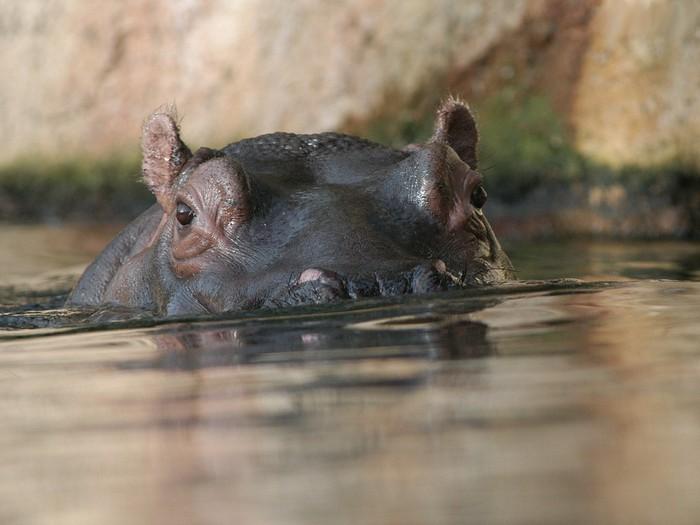 Nilpferde_im_Hippo_-_Pool (700x525, 69Kb)
