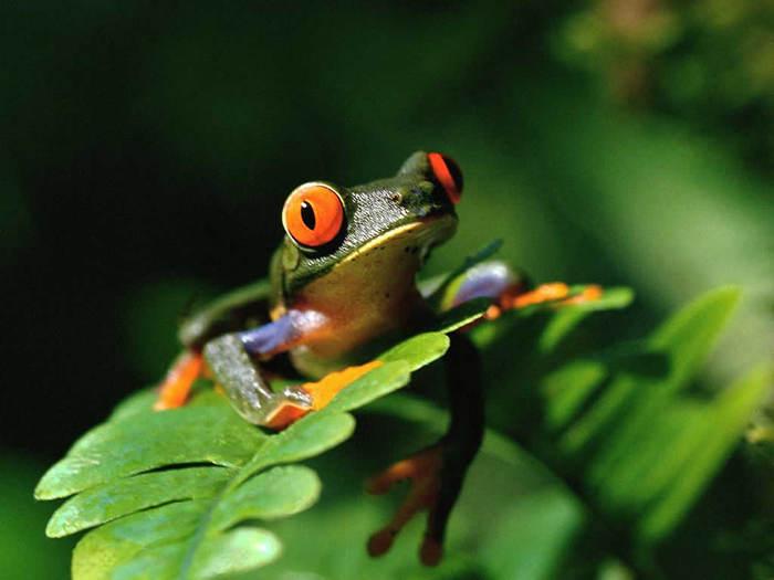 Frog (700x525, 36Kb)