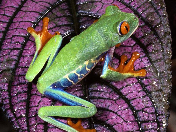 Red_-_Eyed_Tree_Frog,_Central_America (700x525, 92Kb)