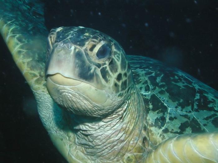 See_Turtle (700x525, 104Kb)