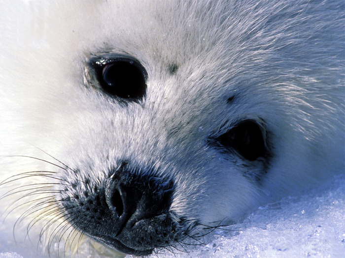 Fur_seal (700x525, 146Kb)